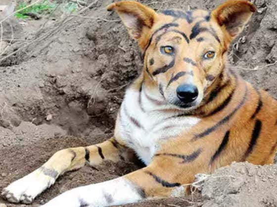 A Village In India Is Painting Tiger Stripes On Their Dogs To Keep Crop-Eating Monkeys Away