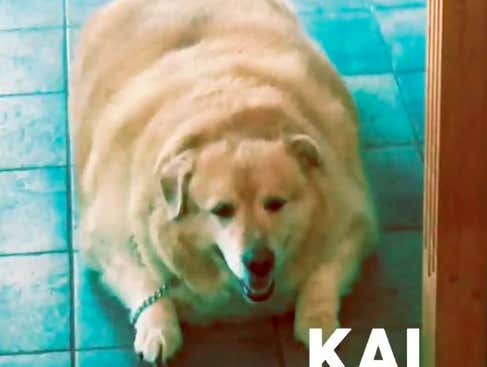 This Video Of The World's Fattest Dog Losing 100lbs Is Currently My Favorite Thing On The Internet