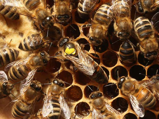 Killer Hornets, Africanized Bees, Honey Badgers, World War Bee, and the Plight of American Honey