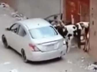 Watch The Greatest Thief In The World Steal 2 Sheep And A Cow Using A Nissan Sedan