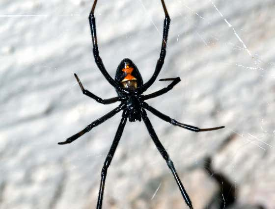 Boys Intentionally Get Bitten by Black Widow to Try to Become Spider-Man