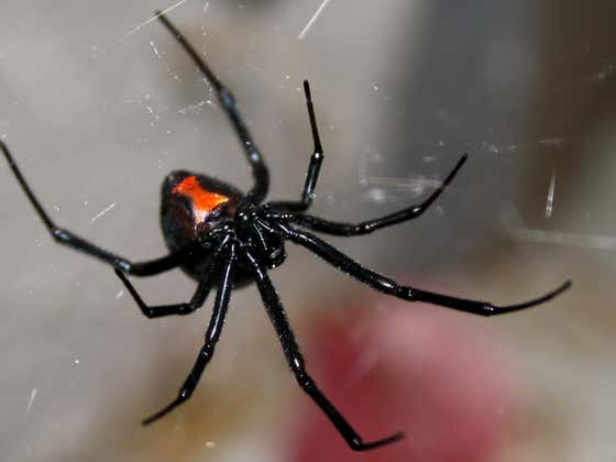 Hard Factor 5/27: WTF WEDNESDAY- Kids Purposely Get Bitten By Black Widow to Become Spiderman, Man Kills Pedophile To Save Kids, Aggressive Rats