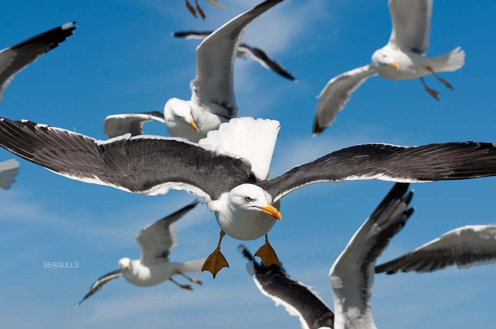 seagulls flock.jpg