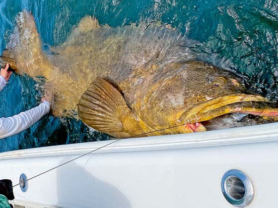 Answering The Question Alec Baldwin Is Dying To Know...  What Did We Do With That Goliath Grouper?