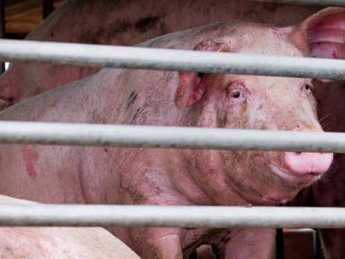 Another Potential Pandemic Virus Found In China. This Time From Pigs.
