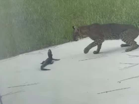 We Found The Next Great Sports Broadcaster Commentating This Baby Alligator vs Bobcat Backyard Brawl