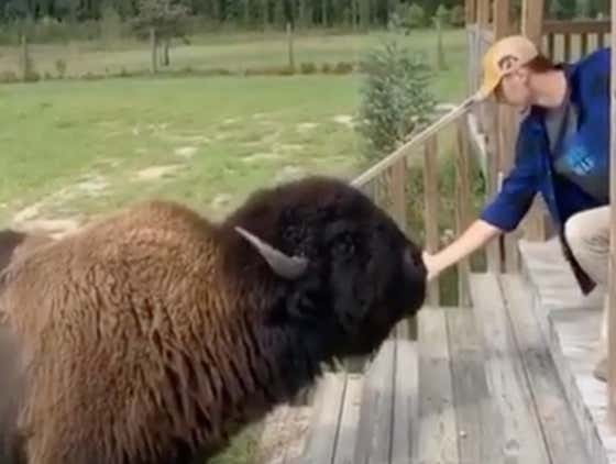 This Giant Bison Is The Puppy You've Always Needed