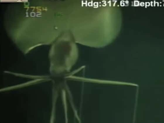 Wake Up With This ABSURD Magnipinna Squid