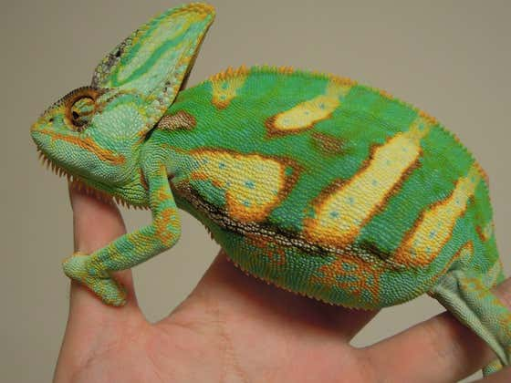 Arabian Peninsula Smokeshow Of The Day: Look At This Sexy Triumphant Chameleon
