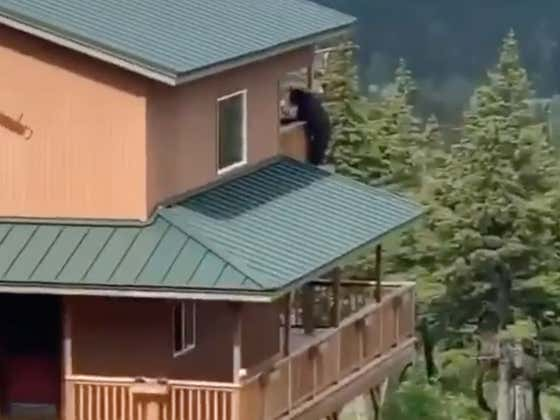 Head Into The Weekend With A Bear Doing The Walk Of Shame Out Of His Girl's House