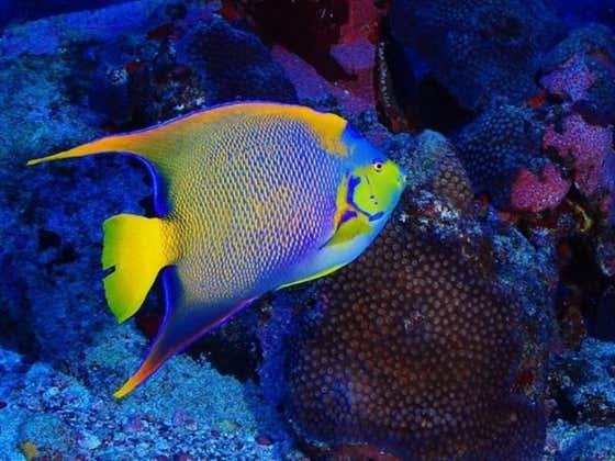 Curacao Smokeshow Of The Day - Exquisite Queen Angelfish