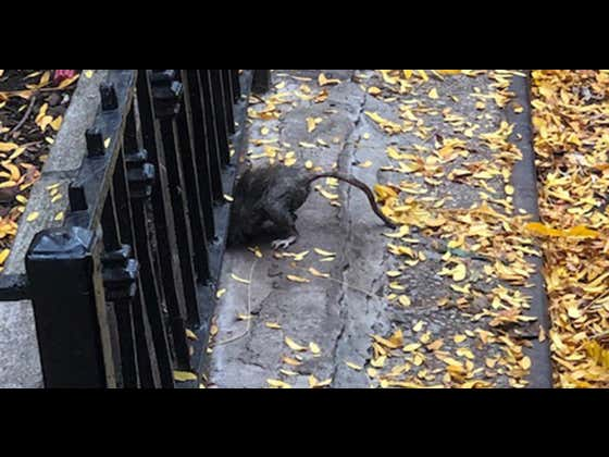 NYC Giant Rats Overtaking Central Park