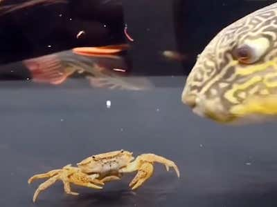 Crab Vs. Puffer Fish In A Battle To The Death - Who Ya Got?