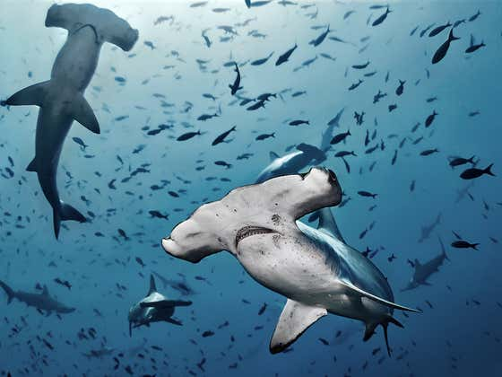 Video: It's Not Really a Beach Day Until Your Floatie is Encircled by 7 Huge Hammerhead Sharks