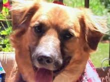 Dog That Went Missing After Car Accident Is Found Days Later Herding Sheep On A Random Farm