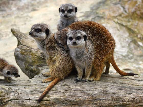 """Apparently, Meerkats In Zoos Are Real Dickheads And Don't Bother With """"Social Niceties"""""""