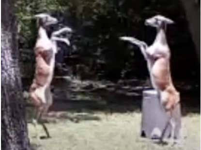 WATCH: Two Deer Get Into a Boxing Match Caught on a Security Camera