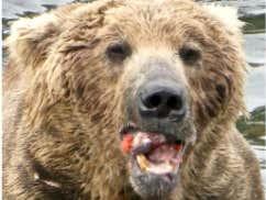 Fat Bear Of The Year Winner: OTIS