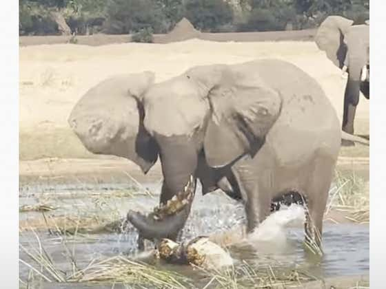 Watch: An Elephant Stomps a Nile Crocodile to Death in Africa!