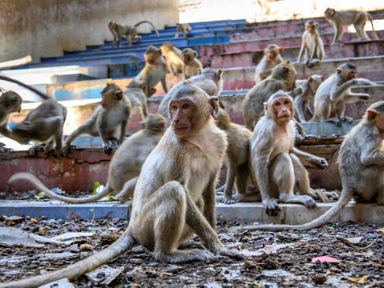 Citizens In A Thai City Have Given Up Fighting Aggressive Monkeys, Now The Monkeys Are In Control Of The City