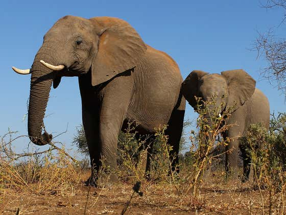 UPDATE: Scientists Now Believe They Have Figured Out Why A TON Of Elephants Across Eastern Africa Are Dropping Dead