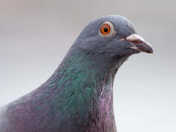 UPDATE - JOE IS A FREE BIRD - Those Barbarians In Australia Are Trying To Find And Execute An Innocent Racing Pigeon Named Joe From Alabama