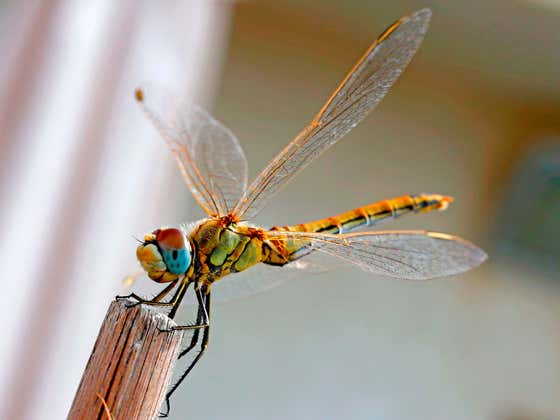 Watch This When You're High - How Do Dragonfly Wings Work?