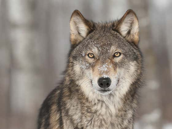Watch This When You're High - How Wolves Changed The Yellowstone Ecosystem