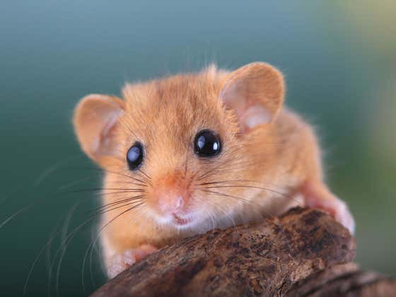 Our Guys In Southern Italy, The 'Ndrangheta Mafia, Are At It Again. This Time Getting Busted For Trafficking Hundreds of Dormice.