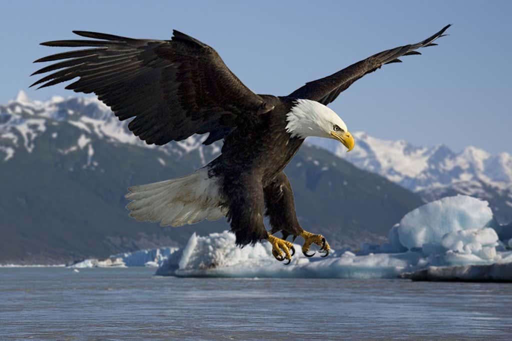 Adler_jagt