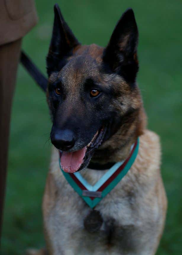 British-Military-Working-dog-Mali-poses-for-a-photograph-wearing-the-the-PDSA-Dickin-Medal-in-London