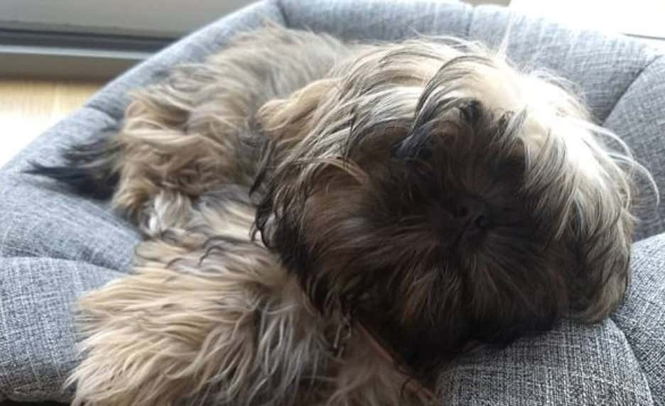 The Sadistic People That Kidnapped Zoe the Shih Tzu From Her Front