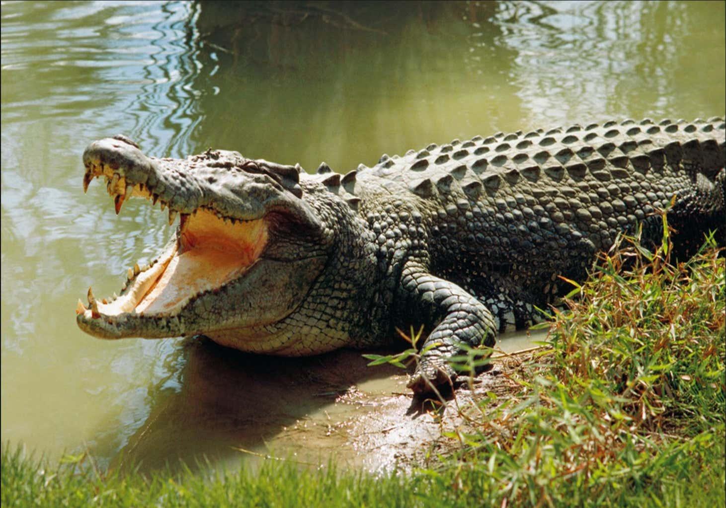 Image result for Man breaks into crocodile enclosure