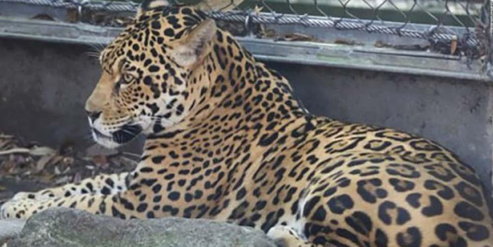 Jaguar escapes enclosure and kills 6 animals in new orleans zoo but