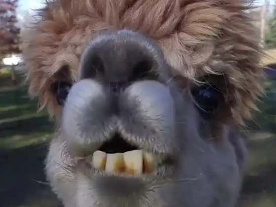 Alpaca Tragically Dies Because Some Clueless Driver Constantly Dumped Junk Food Into His Pasture
