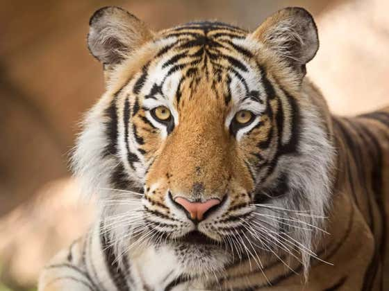60,000 Sign Petition To Free LSU's Mike The Tiger