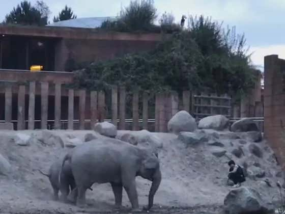 Credit To These Elephants Who Didn't Murder This Asshole Who Jumped Into Their Zoo Habitat, And Instead Just Threw Him Out Of The Club