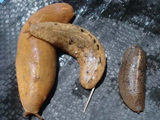 An Australian Man Died From Eating A Garden Slug As A Dare In The Cruelest Of Fates
