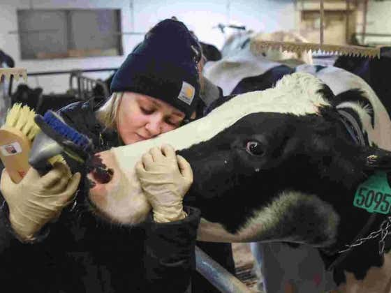 Michigan State Bring Cows To Campus To Help Students De-Stress During Finals