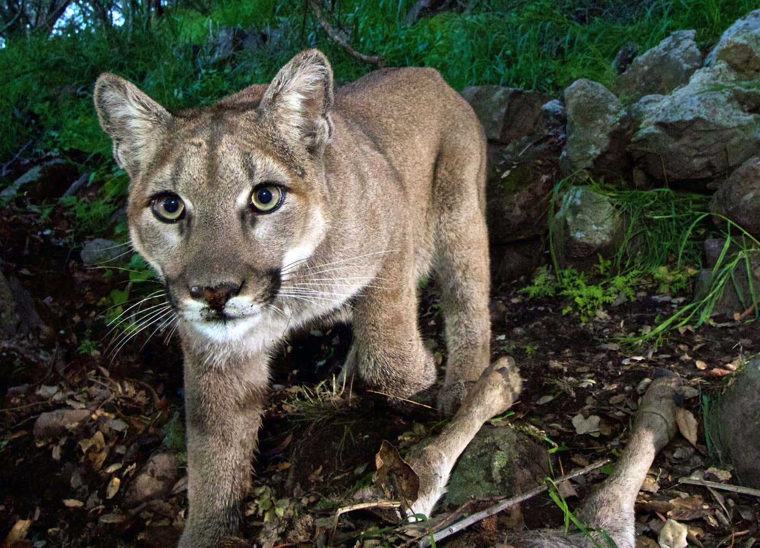 A Jogger Fought Off And Killed A Mountain Lion While Out