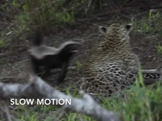 This Leopard Is The Dumbest Jackass In The Jungle, Gets Bitched By A Honey Badger Rescuing Her Baby