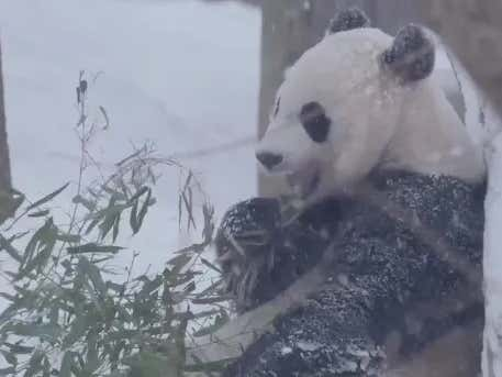 Stop Whatever It Is You Are Doing And Watch Bei Bei Play In The Snow At Once