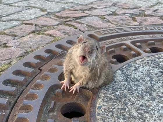 Rat Fat-Shamed By The Internet After Getting Stuck In A Sewer Grate