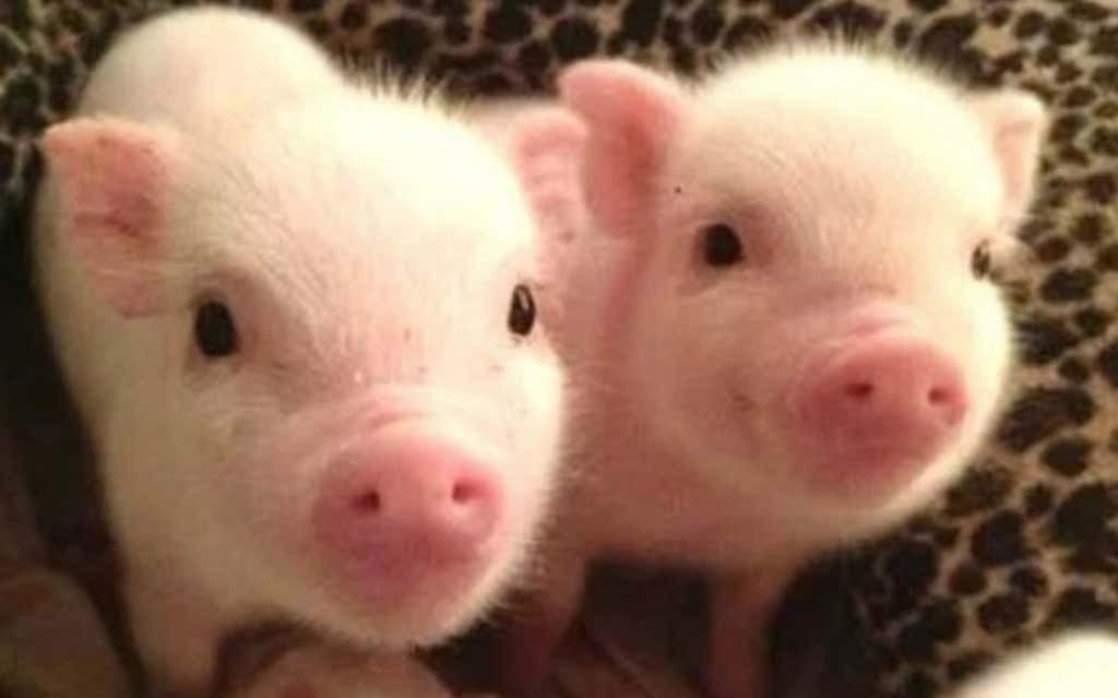 Vegans Accidentally Killed Piglets After Storming The Farm