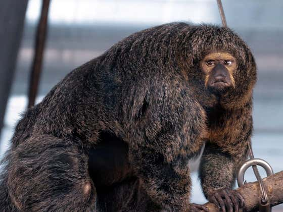 This Monkey Will Absolutely Ruin Your Day If It Wants To