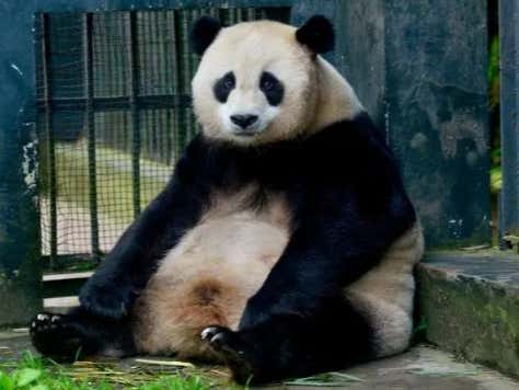 The USA-China Trade War Is Getting Intense; China Demanding All Of Their Pandas Be Sent Back