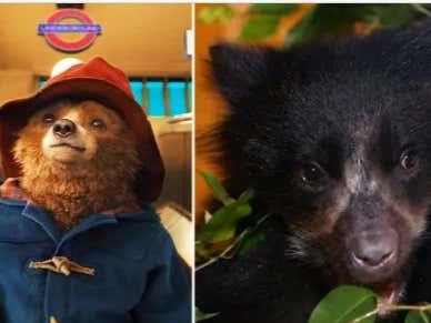 Paddington Bears Nearly Extinct Because Poachers Want Their Penis Bones: Score One For The Pooh Crew