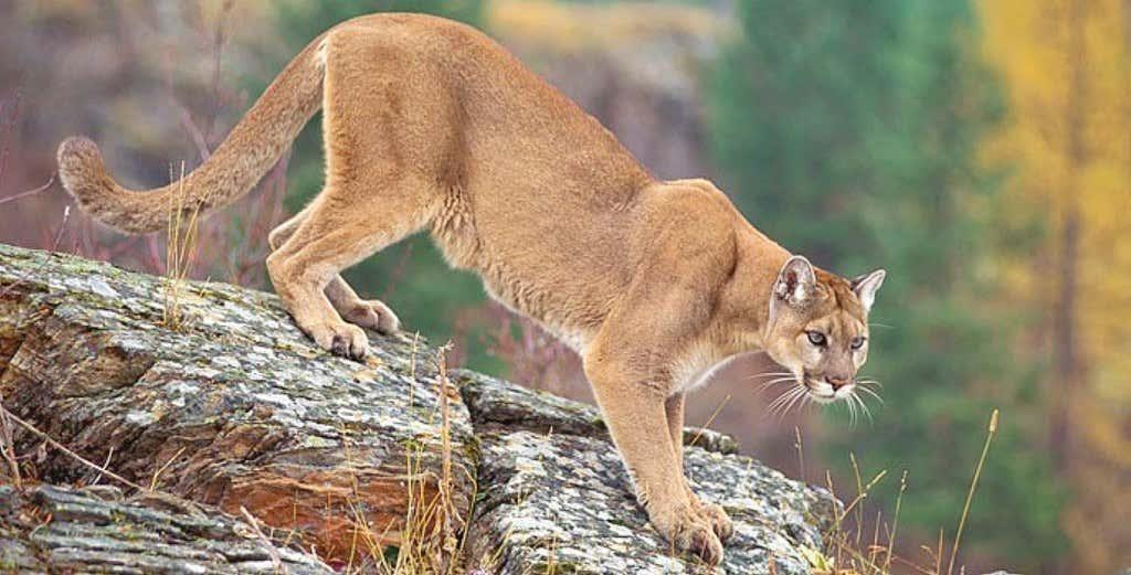 mtn lion