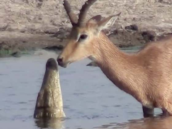 Nature Video Of The Day: Impala Escapes A Crocodile's Death Grip And You'll Never Guess What Happens Next!!!
