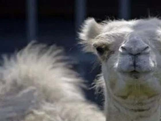 Dog Escapes Owners' Car At Truck Stop, Sneaks Into Camel Enclosure, Owner Gets Sat On By Camel And Bites The Camels Nutsack To Escape